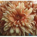 Chrysanthemum Dropper, 1 oz, Flower Essence Services