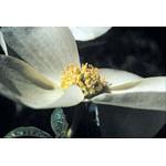 Dogwood Dropper, 1 oz, Flower Essence Services