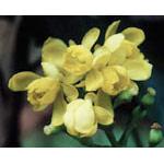 Oregon Grape Dropper, 1 oz, Flower Essence Services
