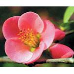 Quince Dropper, 0.25 oz, Flower Essence Services