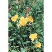 Rock Rose Dropper, 1 oz, Flower Essence Services