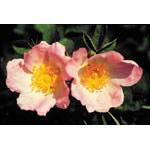 Wild Rose Dropper, 1 oz, Flower Essence Services
